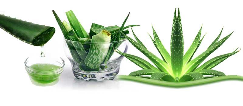 एलोवेरा एक चमत्कारी संजीवनी औषधीय पौधा है और एलोवेरा को विभिन भाषाओ मे विभिन नाम है – हिन्दी मे ग्वारपाठा, संस्कृत में धृतकुमारी, अंग्रेजी में बारबाडोस एलो (एलो वेरा), यूनानी में घीक्वार और मुसब्बर वेरा भारत मे आम बोलचाल मे कहा जाता है। इसकी पत्तये कांटेदार होते है जिसमें औषधीय गुण भरे हैं। एलोवेरा साइलेंट […]