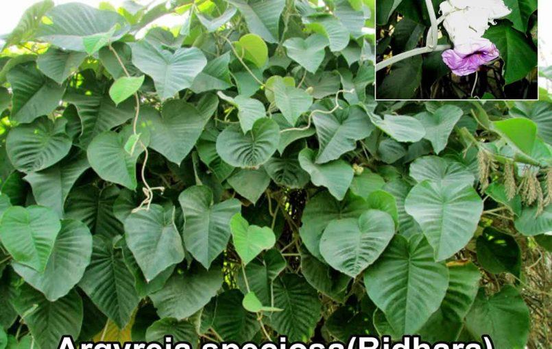 विधारा (घाव पत्ता) –Vidhara Plant Benefits in Hindi आज आपको विधारा (Vidhara) के पत्तों के कुछ ख़ास गुणों के बारे में बताऊंगा. नाम के अनुसार ही यह कैसे भी घाव हो उनको देखते ही देखते भर देता है इसके पत्तों को तोड़कर निचली सतह को गीले कपडे से पोछ कर साफ़ कर लें जिससे की […]