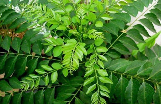 Curry Leaves (Kari Patta) Benefits in Hindi करी पत्ता (kari patta) – मीठे नीमपरिचय : इसके पेड़ अपने आप पैदा हो जाते हैं और इन्हें बगीचों में भी उगाया जाता है। केरल, तमिलनाडु़, पश्चिम बंगाल, बिहार और हिमालय में कुमाऊं से ले कर सिक्किम की ओर के प्रदेशों में इसके पेड़ होते हैं। स्वाद : […]