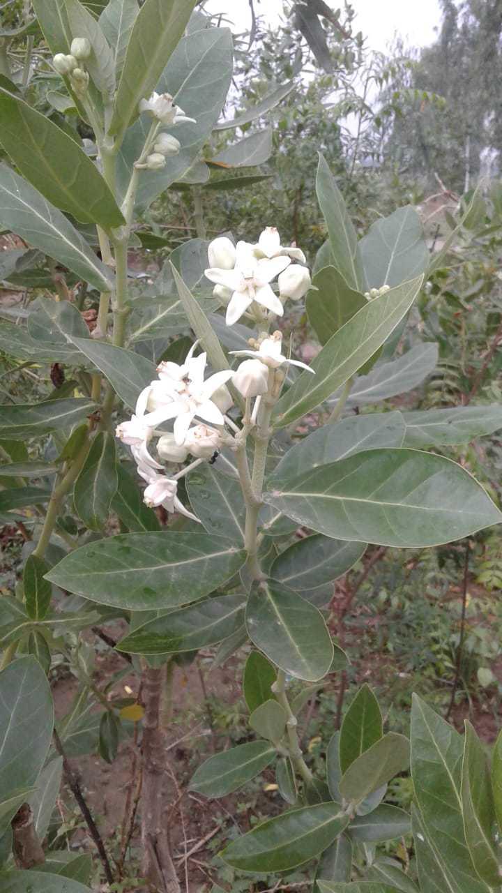 सफेद आक (Calotropis gigentica)का हर अंग दवा है, हर भाग उपयोगी है। यह सूर्य के समान तीक्ष्ण तेजस्वी औरपारेके समान उत्तम तथा दिव्य रसायनधर्मा हैं। कहीं-कहीं इसे 'वानस्पतिक पारद' भी कहा गया है। सफेद आक आंकड़े (मदार) के पत्ते के फायदे आक के पीले पत्ते पर घी चुपड कर सेंक कर अर्क निचोड कर कान […]