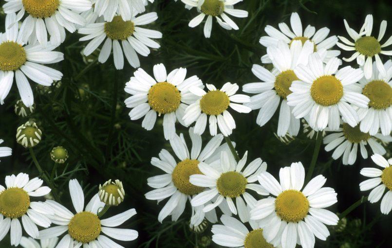 कैमोमाइल का उपयोग  कैमोमाइल, एस्ट्रैसी (Asteraceae) परिवार का सदस्य है । इसमें पौधे का फूल और जड़ी बूटियों को सक्रिय रूप में प्रयोग किया जाता है। कैमोमाइल चिंता, तनाव और असुविधा को कम कर देता है। यह पाचन को सही करने के लिए भी स्वास्थ्य के मामले में दिया जाता है। यह teething और […]